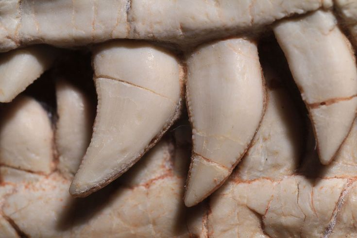 The teeth of Buirolestes.