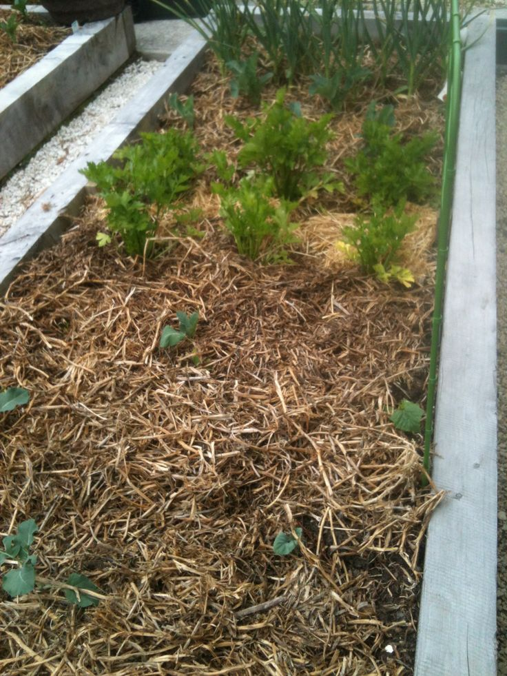 Keep your plants hydrated, and help suppress all those weeds - mulch, mulch, mulch! Here I've used peastraw. Reasonably priced and very easy.