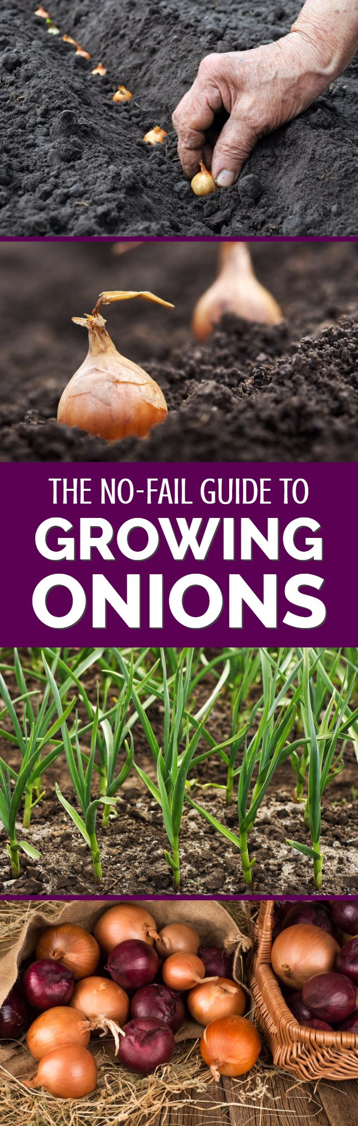 Growing onions from seed might sound like hard work, but it has a distinct number of benefits for gardeners and vegetable growers. Find out how to grow onions from seed in this detailed guide from an experienced British vegetable grower.