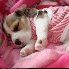 wallets with a chain Sleeping Beagle  A Place to Love Dogs  Aww Sweet