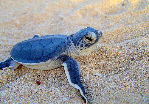 Blue baby turtles - photo#1