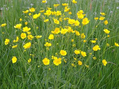 tall-buttercup: toxic livestock, Leaves are covered with hairs. Flowers have five to seven shiny, oblong petals that are bright yellow, but may sometimes be cream-colored.