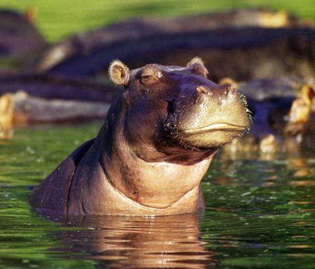 Skeptickle Hippo