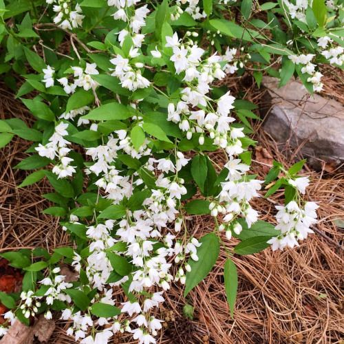 17 best images about shade loving perennials on pinterest for Low growing flowering shrubs