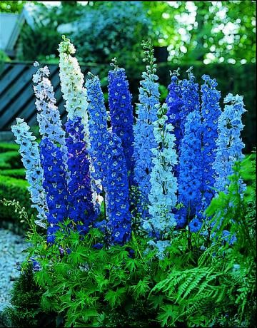 Blue fountains delphinium  Captivating blue, purple, and white flower spikes will only get to about three feet tall, but won't require any staking support. These huge blossoms will bloom in June and July, but can bloom again in the fall if cut back after flowering.