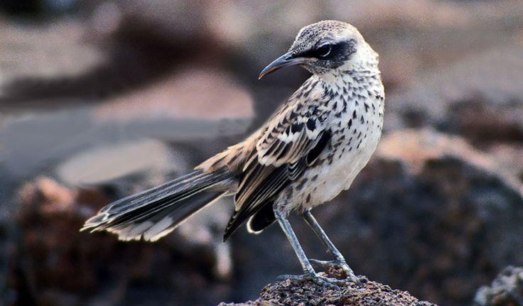 Mockingbird Of Galapagos - Facts, Information & Habitat