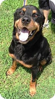 Raleigh, NC Rottweiler. Meet Pop, a dog for adoption
