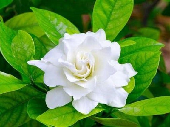 Gardenia Essential Oil Maceration Infusion 15ml Extremely Rare Etsy In 2020 Gardenia Plant Flower Garden Design Gardenia Essential Oil