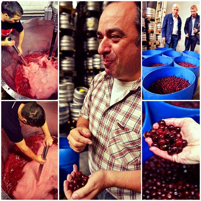 As soon as the fresh sour #cherries ('krieken') arrive at the #Lindemans brewery, they are transformed into juice for the Lindemans Kriek or the fruit is macerated in #lambic and fermented in oak barrels for the Lindemans Oude Kriek Cuvée René. René Lindemans, co-owner of the brewery and in charge of production, tastes to check the quality. #lindemansoudekriekcuveerene #krieken #lindemanskriek #kriek#fruitbeer #oldbelgium #beerstronomy #beertourism #brewedinbelgium