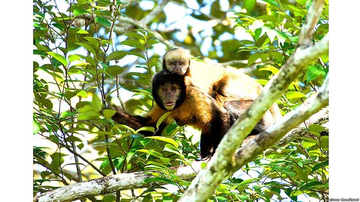 Los cazadores matan a las madres de monos capuchinos para capturar a los bebés, que son mantenidos como mascotas