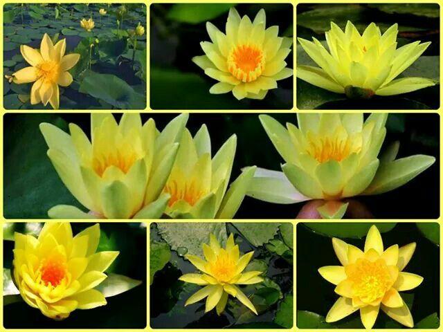 Ninfea  www.perugiaflowershow.com