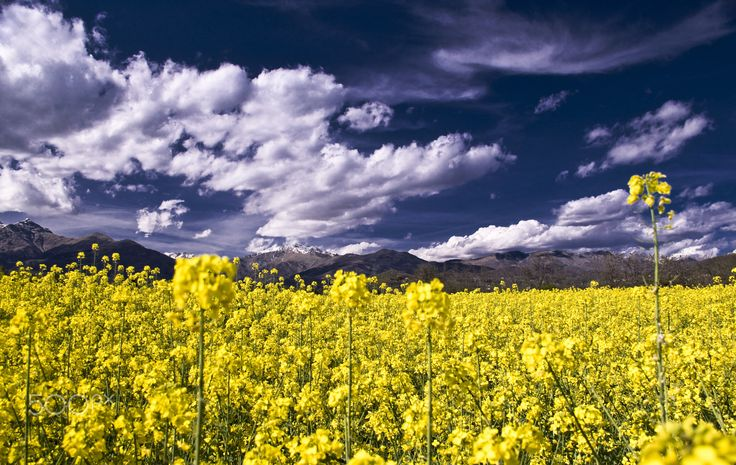 The colors of spring. - soy field, against the backdrop of the mountains and clouds.