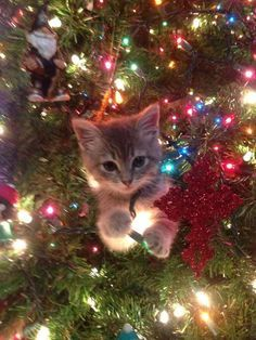 cute christmas tree kitten cat winter