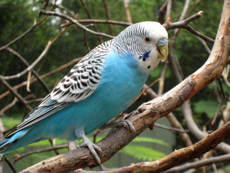 Perruche (/pɛ.ʁyʃ/) est un nom vernaculaire donné à des oiseaux appartenant à l'Ordre des perroquets. Elles sont dispersées au sein de différents genres (Royales du genre *Alisterus, Conures du genre Aratinga, Kakarikis du genre Cyanoramphus, Platycerques du genre Platycercus, Magnifiques du genre Polytelis, etc.).