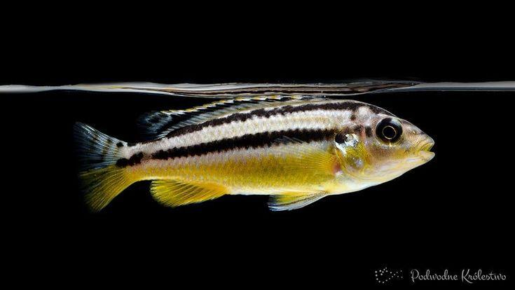 Pyszczak złocisty Melanochromis auratus
