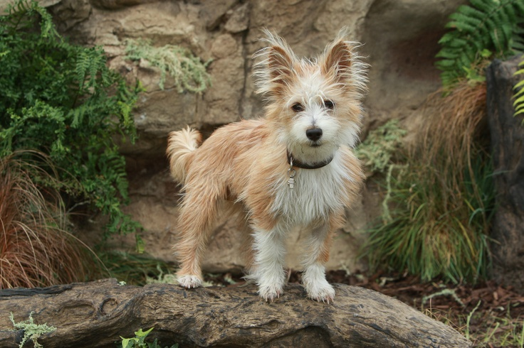American Kennel Club Invites Two New Breeds to the Litter