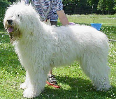 South Russian Ovtcharka Information and Pictures, South Russian Sheepdog, South Russian Shepherd Dog