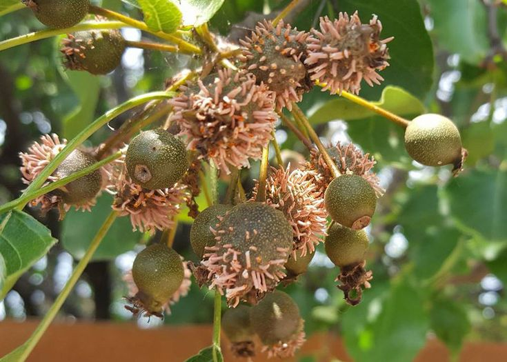 Image result for cedar  rust on pear trees