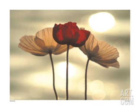 29 best poppy images on Pinterest | Poppies, Poppy flowers and ...