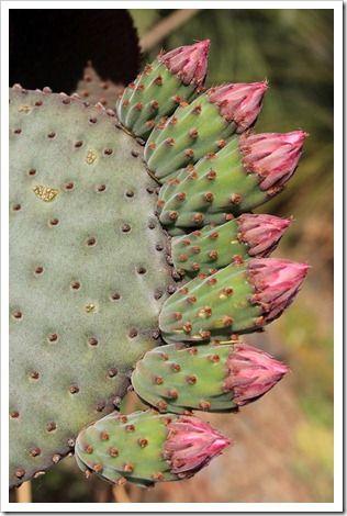 130413_RBG_Opuntia-basilaris_03  Ruth Bancroft Cactus & Succulent Garden. -- Walnut Creek, CA -- www.ruthbancroftgarden.org