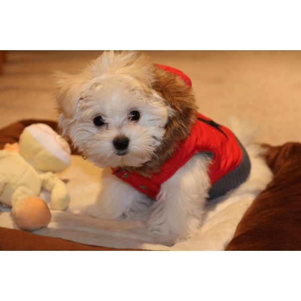 1000 images about ropa para perrito on pinterest for Articulos para perros