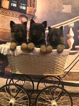 Litter of 9 German Shepherd Dog puppies for sale in GREENCASTLE, PA. ADN-65391 on PuppyFinder.com Gender: Male(s) and Female(s). Age: 5 Weeks Old #germanshepherd #germanshepherdpuppy
