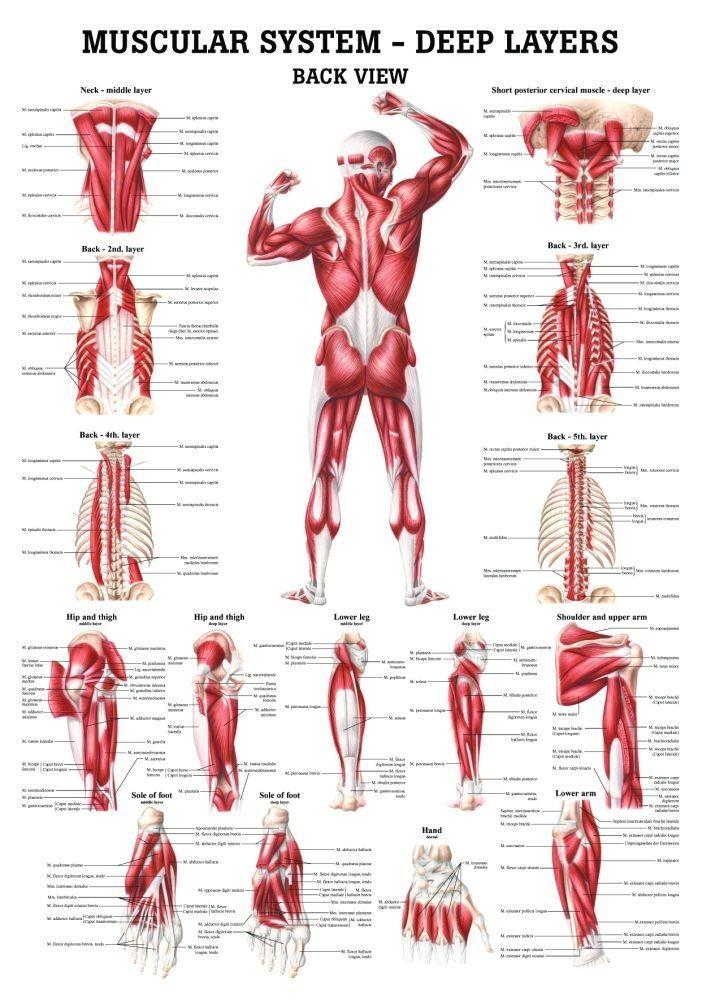 Mejores 92 imágenes de Anatomía/Hormonas en Pinterest | Anatomía ...