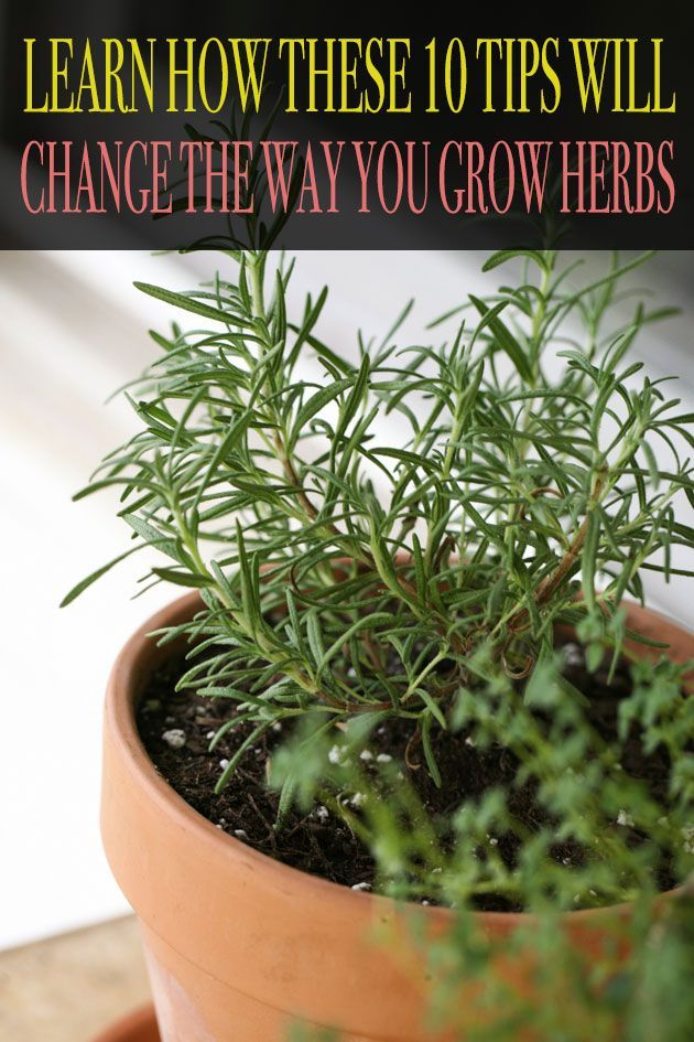10 Tips For Growing Herbs In Containers Your Own Close To The Kitchen Is Super Easy Let Me Give You Ten Important