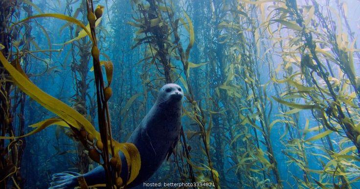 Deze beklijvende afbeelding is van een zegel zwemmen door een majestueuze kelp bos. Deze afbeelding is eigenlijk een deel van een jaarlijkse fotowedstrijd zetten door de Universiteit van Miami, die meer dan 700 posten ontvangt. Men moet zich afvragen wat er gaande was door de geest van dit zegel zoals zijn foto was wordt uitgelijnd.
