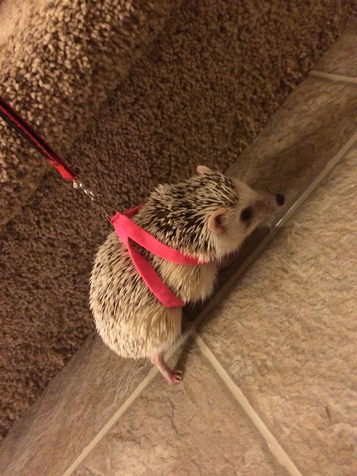 Oh my gosh, this would be so cute for Dalek!!-- hedgehog harness