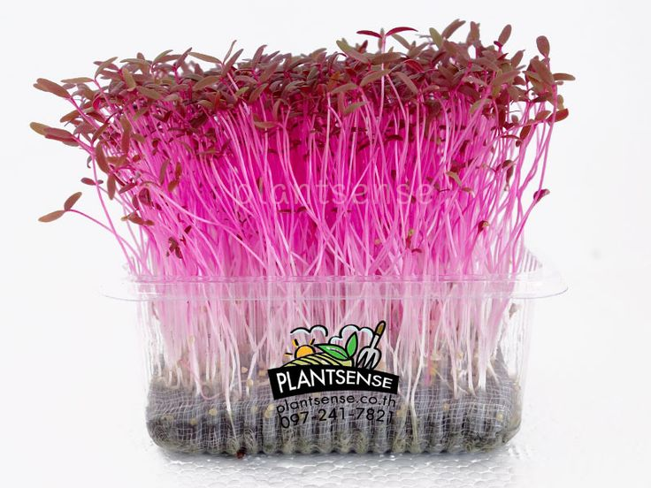 Red Amaranth Microgreen Plantsense Co Ltd Www Plantsense