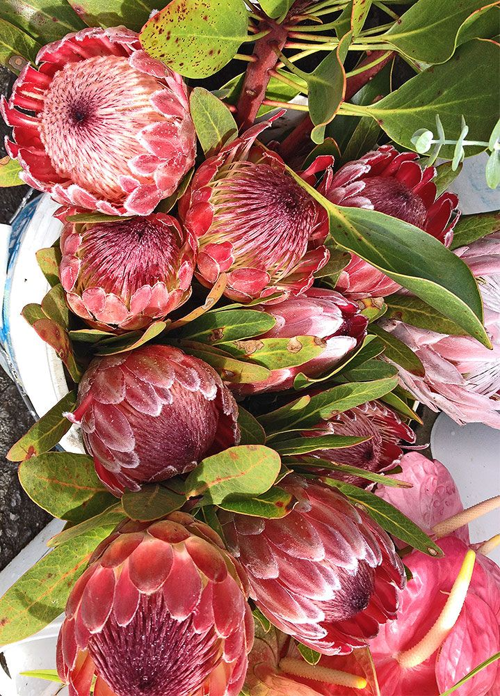 Anthurium Plants Big Island Vendors
