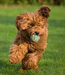 Small labradoodle playing fetch.