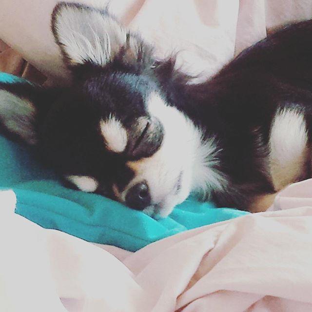 リツはハジと違って、ものすごく暑がりです💦  肉球はいつも汗かいてます。  なのでフローリングを走り回っても滑りませんし、ペチャペチャ音がします。  これは枕元に置いていたアイスノンを見つけて、勝手に涼んでるリツです(笑)  #犬ってこんなに暑がりなのかしら #肉球 #チワワ#チワワ部#親バカ部#愛犬#犬がいる生活#パピー#ブラックタン#chihuahua