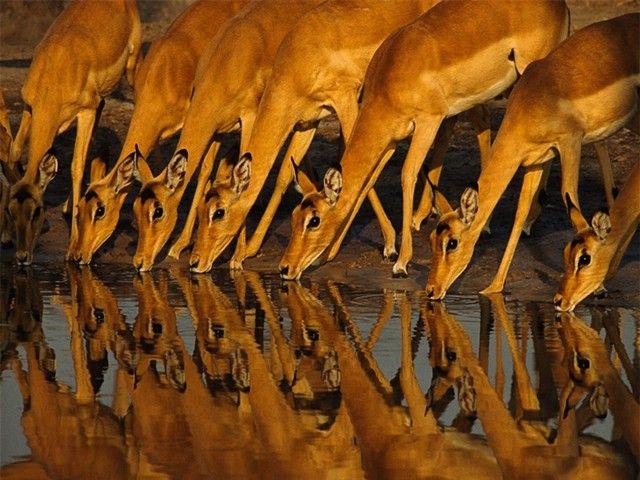 Wild Animals: Animal Pics, Animal Wild, Animal Collection, Animal Antelop, Impala, Wildlife Photography, Wild Animals, Amazing Natural, Sunsets