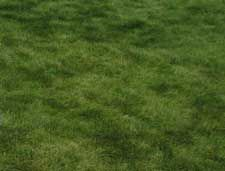 Fescue grass seed