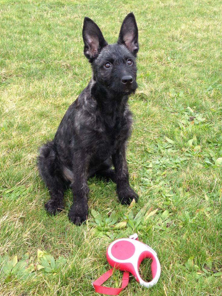 Dutch shepherd rough-haired 3 months old. Kira van Brabandstad.