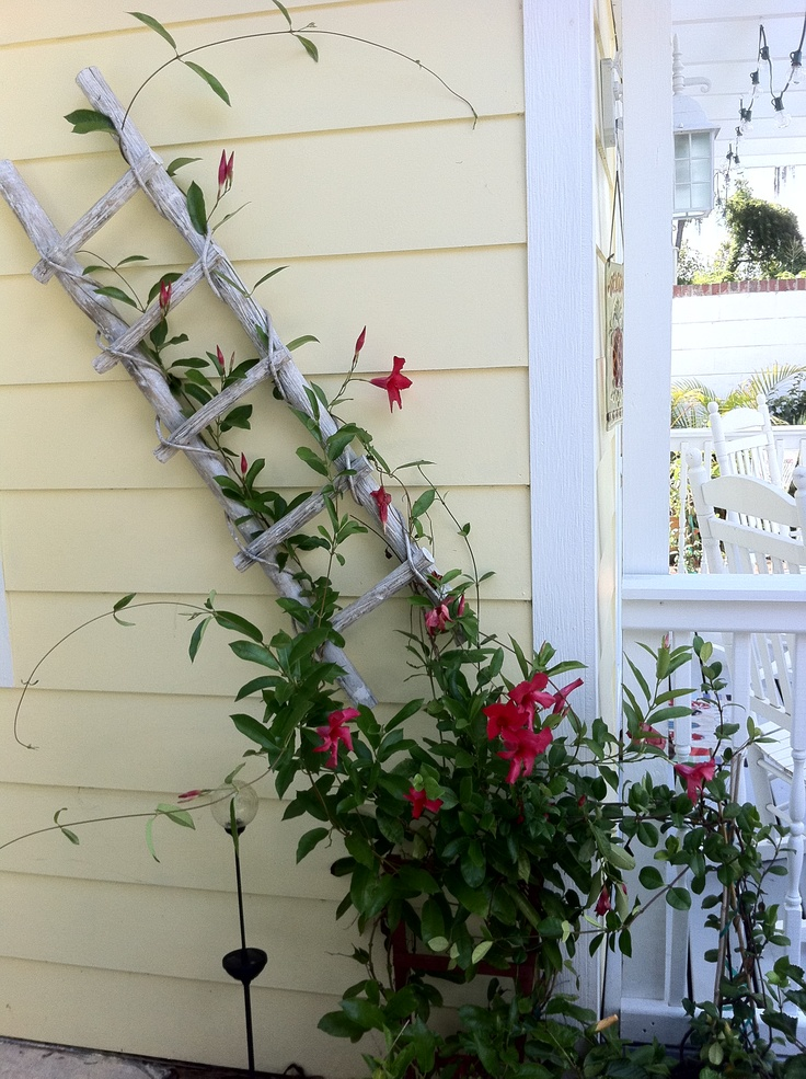 Old ladder trellis - this is great
