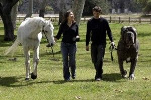Giant English Mastiff: Great Danes, Biggest Dogs, Huge Dogs, English Mastiff, Neapolitan Mastiff, Dogs Photos, World Records, Holy Cows, Big Dogs