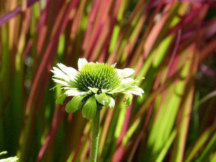 Echinacea 'Green Jewel' and the beautiful grass Imperata cylindrica 'Red Baron'