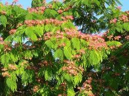 silk tree (mimosa)