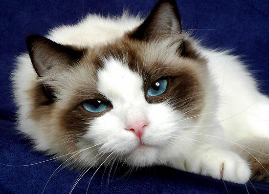 ragdoll cats | Blue-Gem Ragdoll photo Gallery - Photos of Ragdoll Cats and kittens