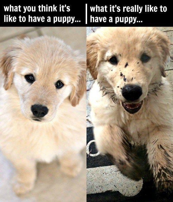 Golden Retriever Puppies My Top 10 Tips For Raising A Golden