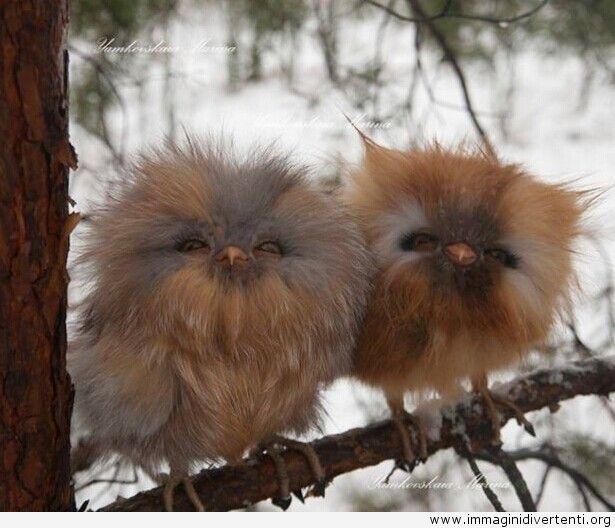 Due carini cuccioli di gufo immaginidivertenti.org