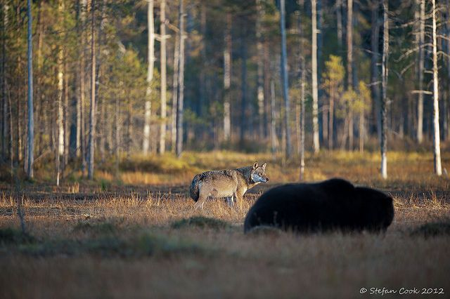 Brown bear and gray wolf, Kuhmo, Finland by Stefan Cook