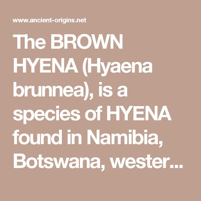 The BROWN HYENA (Hyaena brunnea), is a species of HYENA found in Namibia, Botswana, western & southern Zimbabwe, southern Mozambique and South Africa.It is currently the rarest species of hyena.