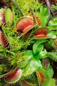 Caring for Venus fly trap.... I have a new obsession and I can't wait to get my red dragon :)))))