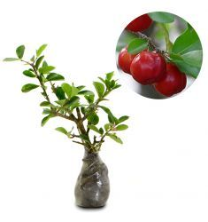 Barbados Cherry 30cm Rp 60,000