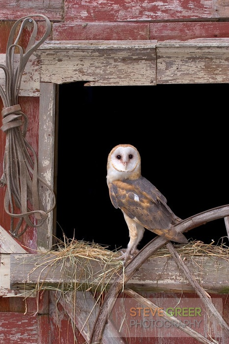 Steve Greer Photography  This makes me want a barn in the hopes of having a barn owl.