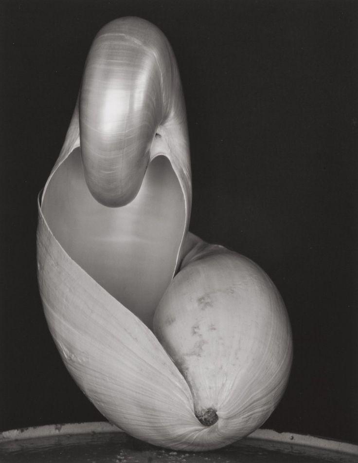 Edward Weston (American, 1886-1958) Shell, 1927 Gelatin silver, printed circa 1970s by Cole Weston